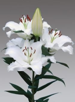 LILIUM OR. PACIFIC OCEAN BLANCO
