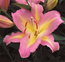 LILIUM OR. PINK MISTERY