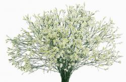LIMONIUM WHITE DIAMOND 70 CM