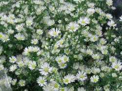 ASTER BLANCO